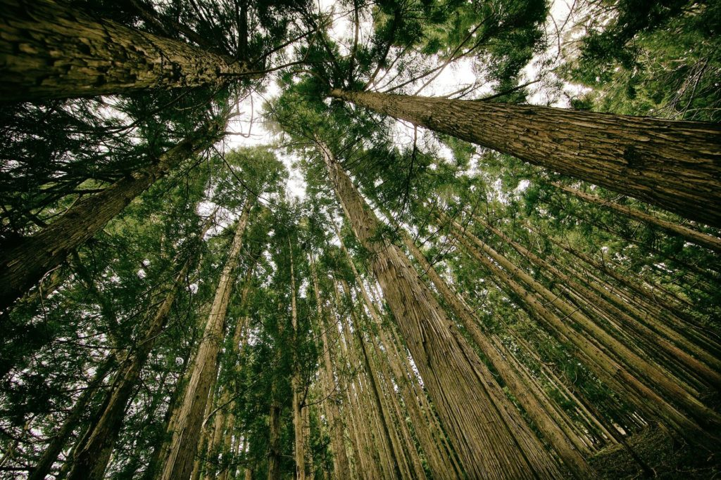 forest seen from the ground; free use
